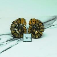 圖示-菊石化石(Ammonoidea)
