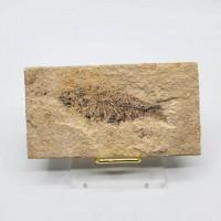 圖示-魚化石(Fish Fossil)