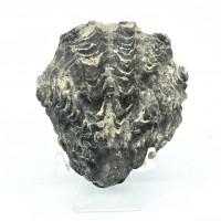 圖示-牡蠣化石(Oyster Shell Fossil)
