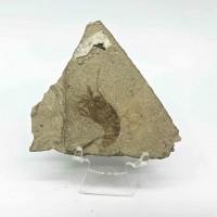 圖示-蝦化石(Shrimp Fossil)