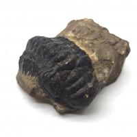 圖示-三葉蟲化石(Trilobita)
