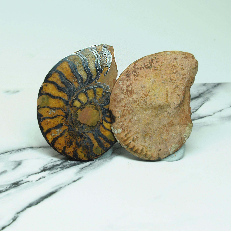 菊石化石(Ammonoidea)