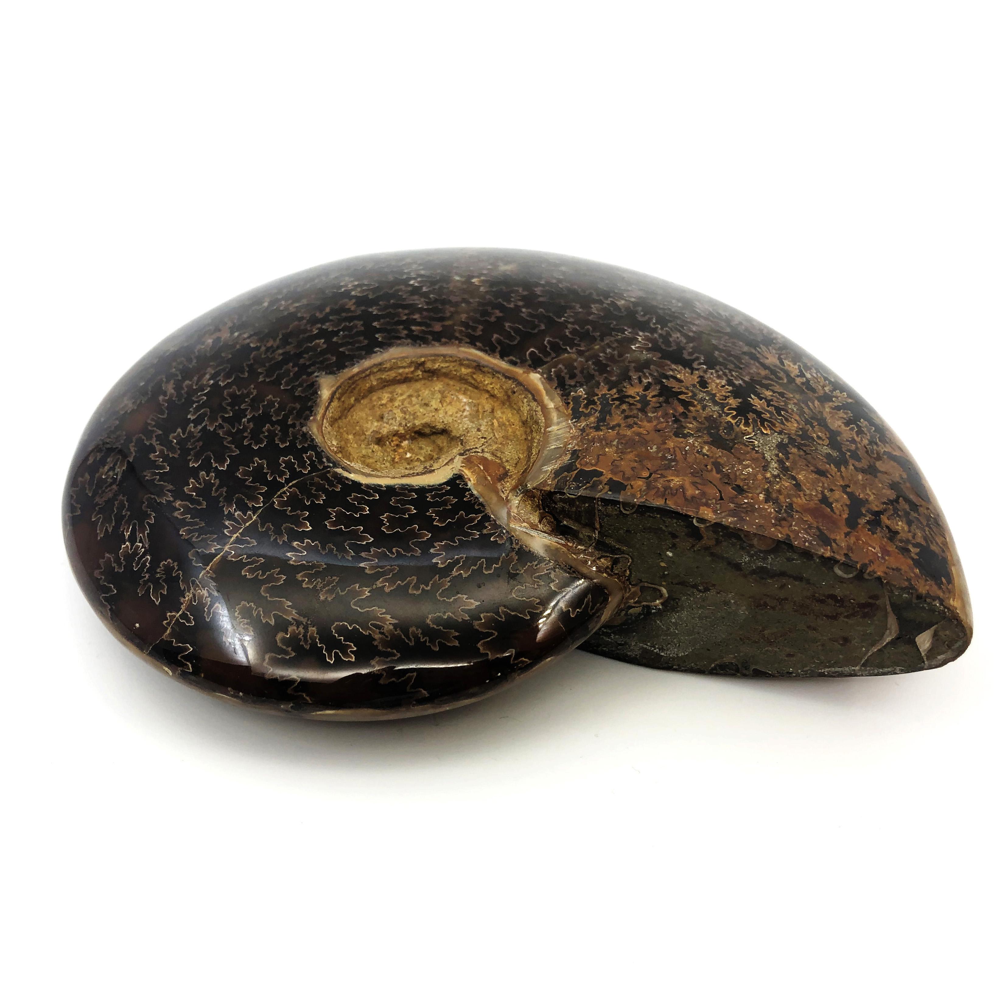 真葉菊石化石(Ammonoidea)