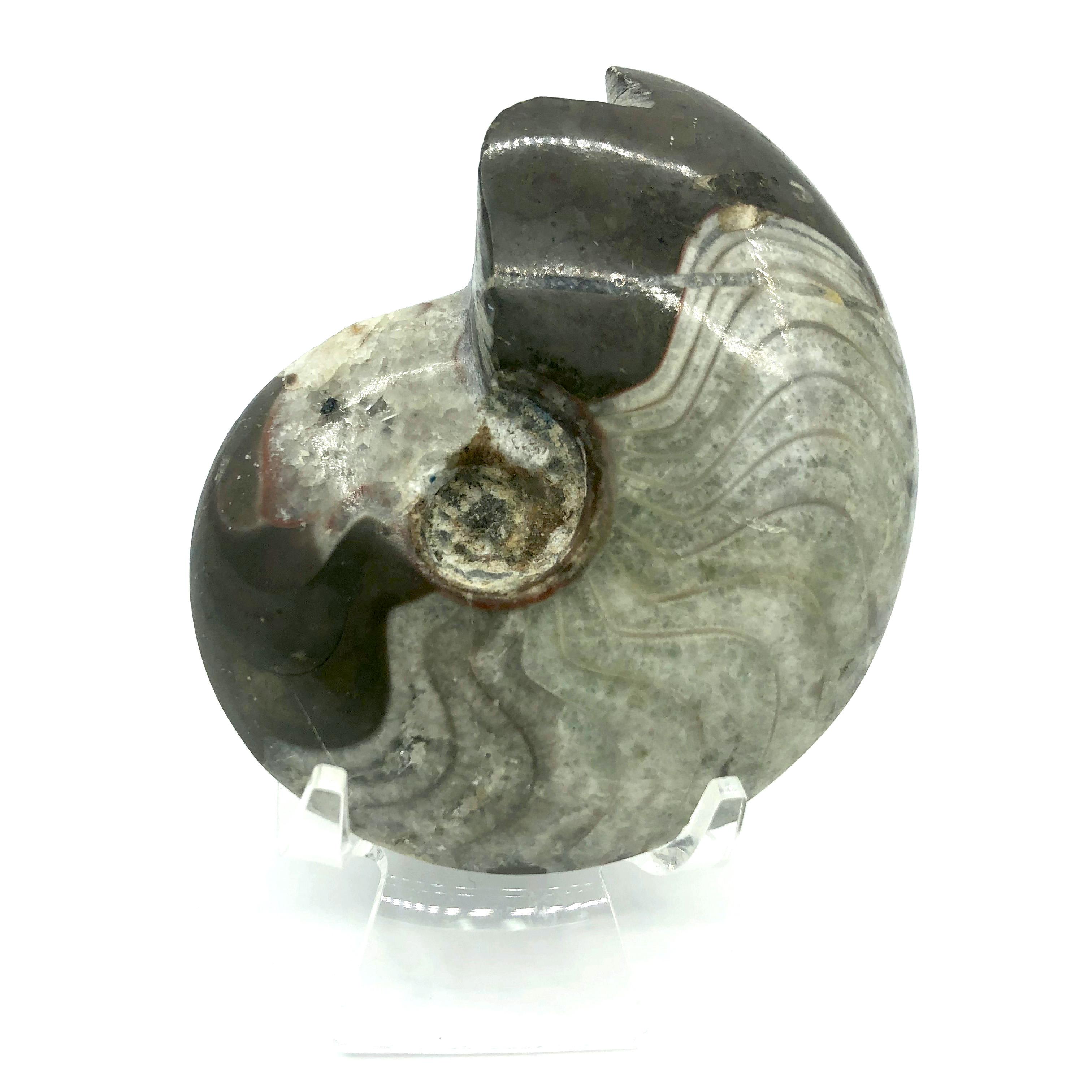 圖示-稜菊石化石(Ammonoidea)
