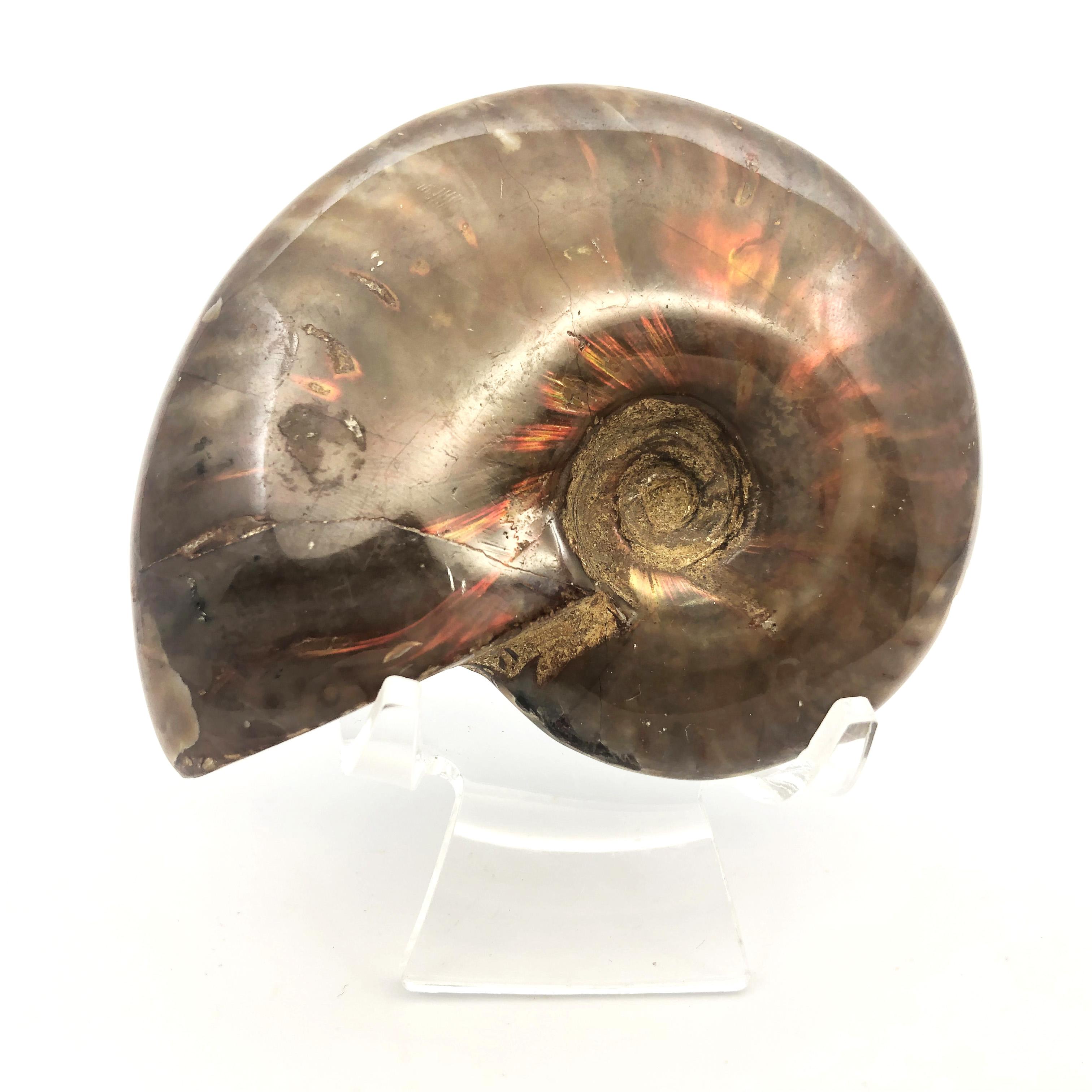 圖示-彩斑菊石化石(Ammonoidea)