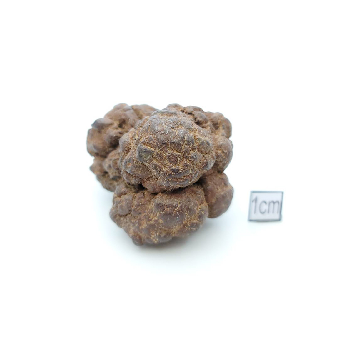 恐龍糞便(Coprolite)