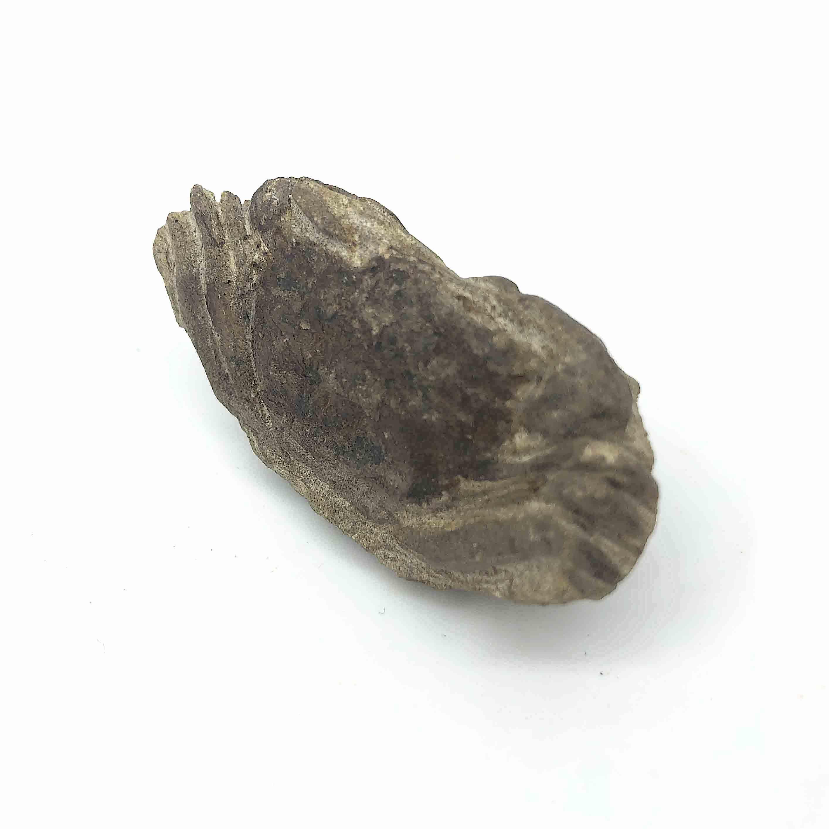 圖示-螃蟹化石(Crab Fossil)