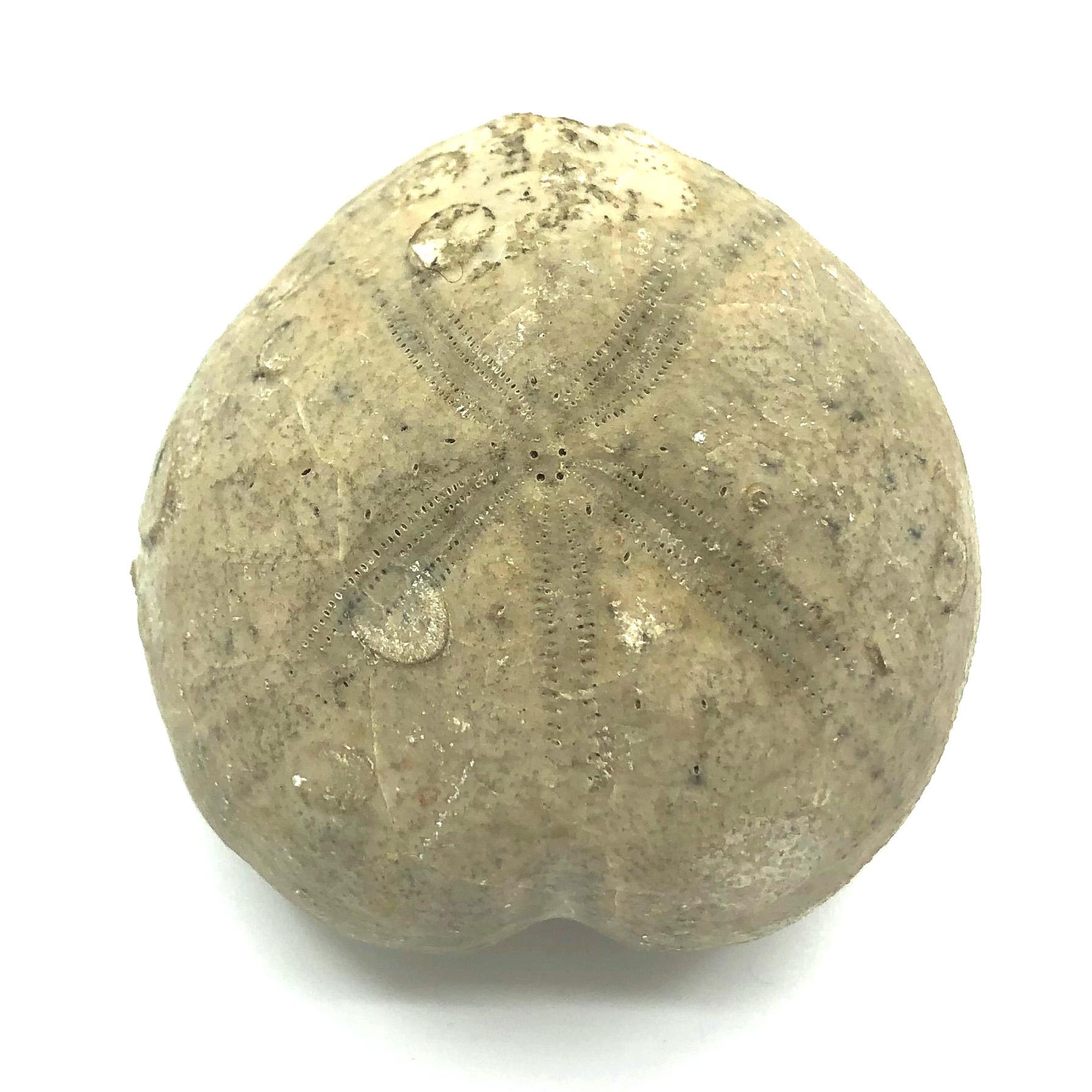 圖示-海膽化石(Echinoidea Fossil)