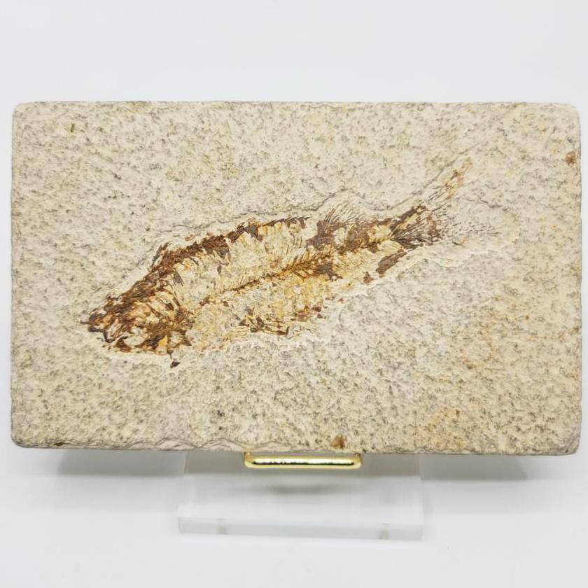 魚化石(Fish Fossil)