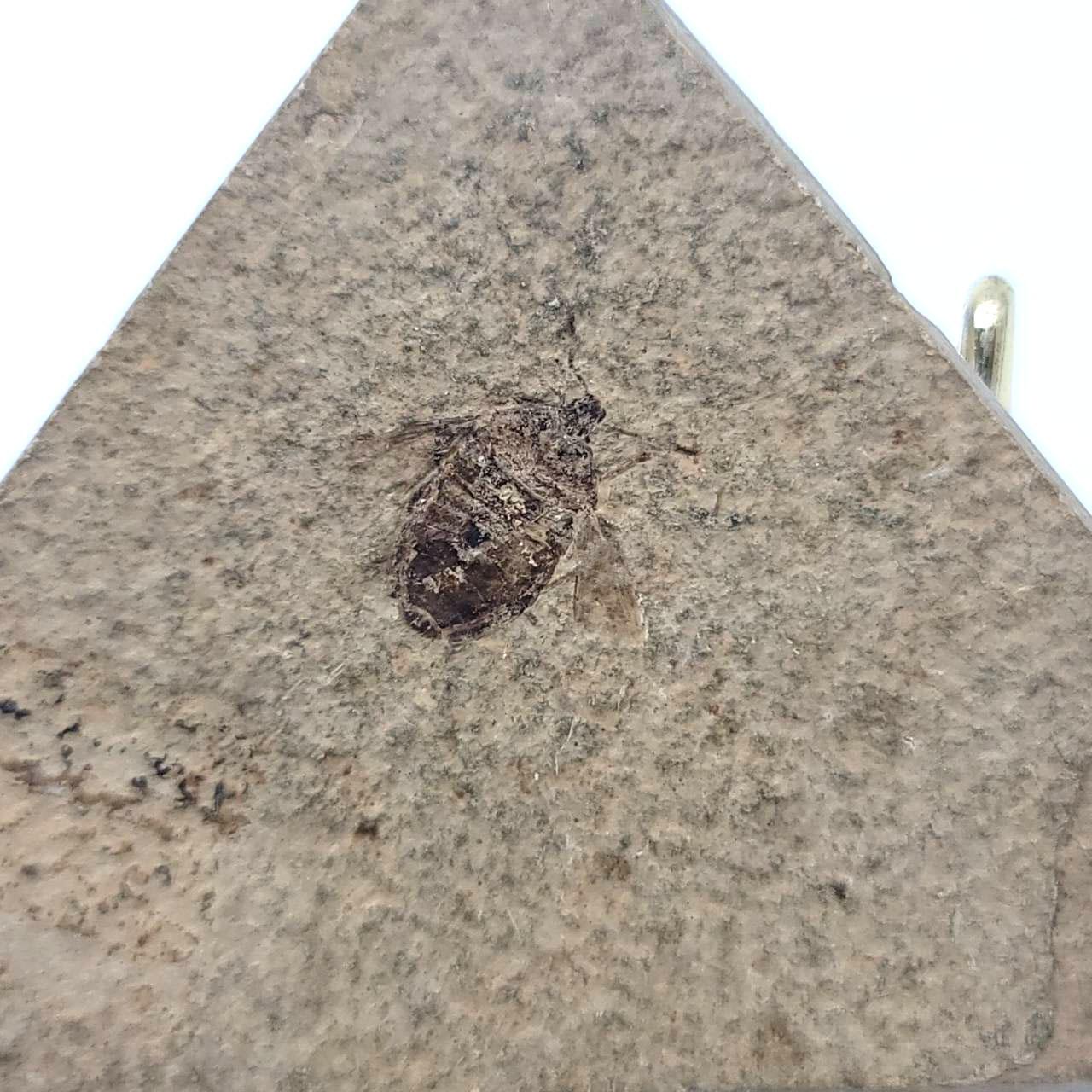 圖示-昆蟲化石(Insect Fossil)