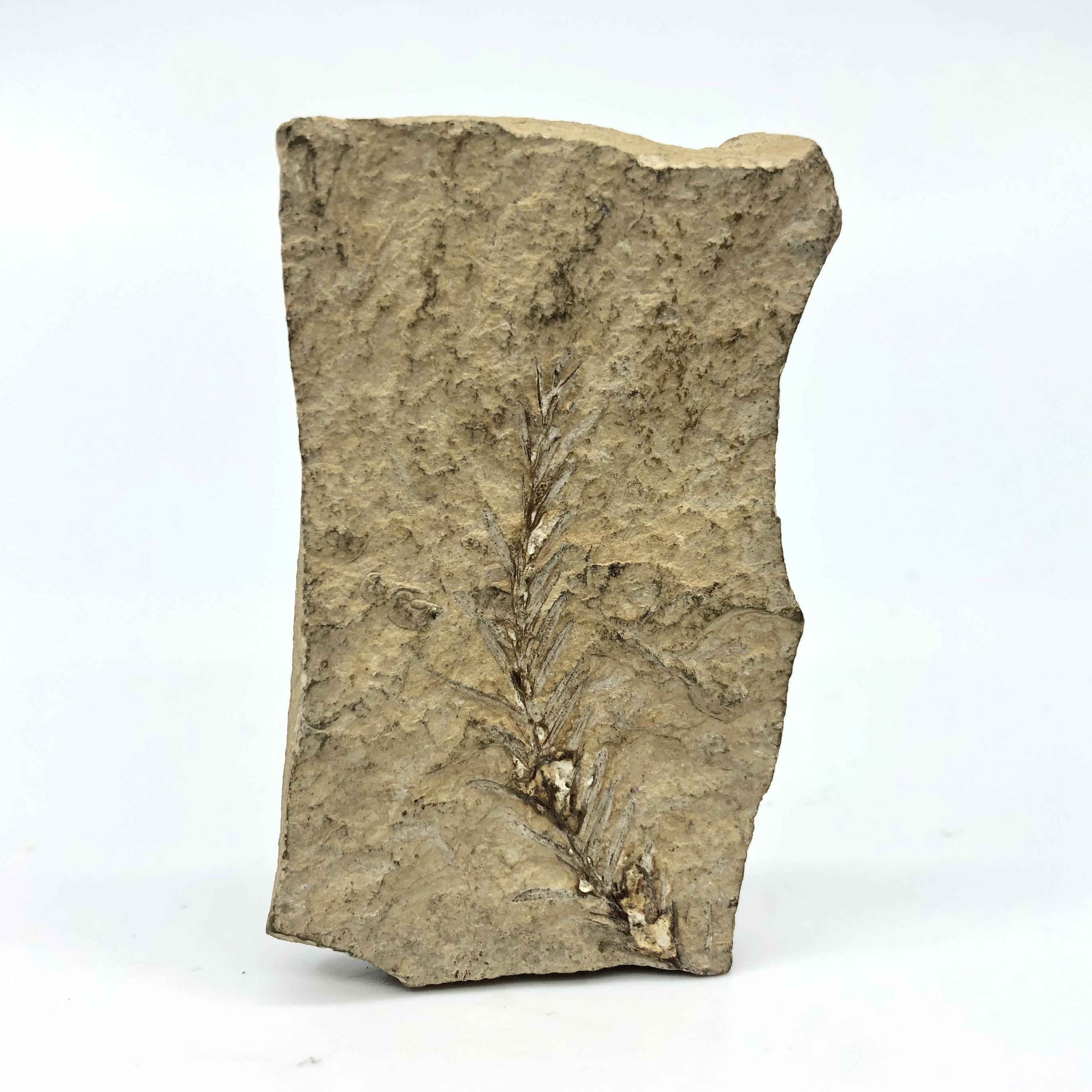 圖示-葉子化石(Leaf Fossil)