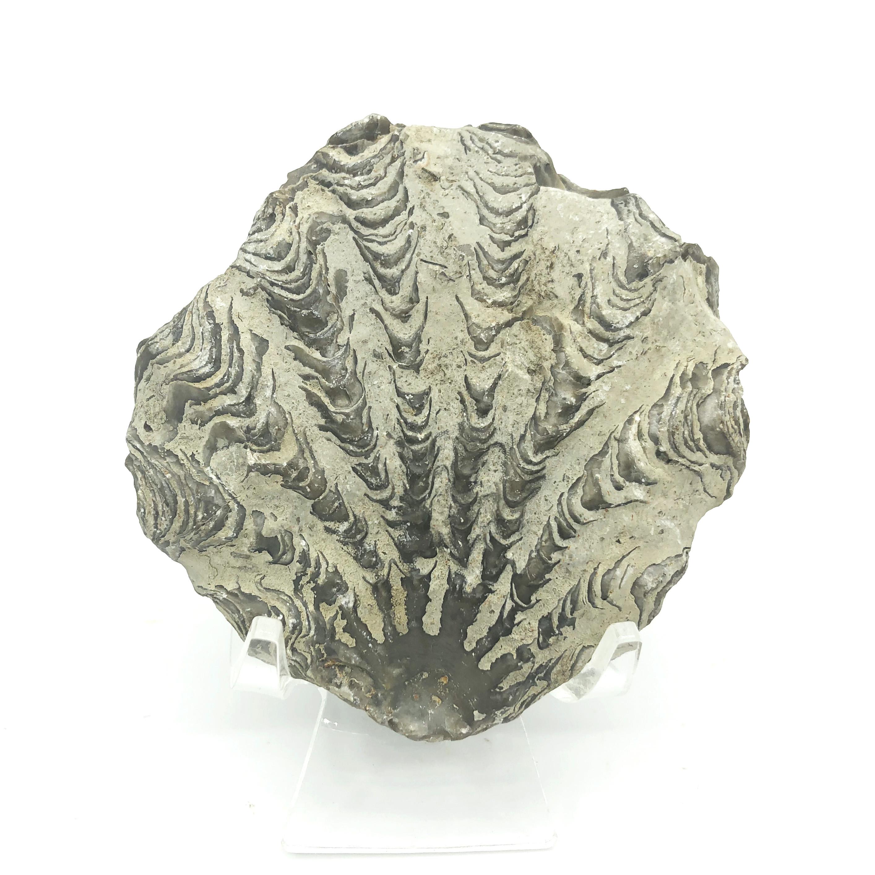牡蠣化石(Oyster Shell Fossil)