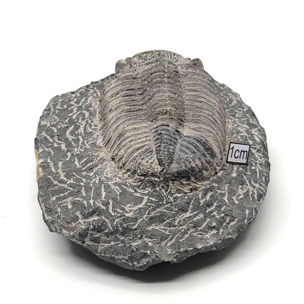 三葉蟲化石(Trilobita)